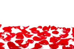 Red rose petals. On white background stock photo
