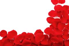 Red rose petals. On white background stock photography
