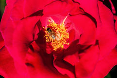 Red rose petals and stamens Royalty Free Stock Images