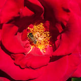 Red rose petals and stamens Stock Photos
