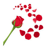 Red rose and petals. Red rose with stem and rose petals Stock Photo