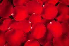 Red rose petals texture Stock Photography