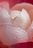 Red rose petals and water drop. Royalty Free Stock Photos