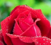 Red rose petals and water drop. Royalty Free Stock Images