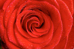 Red rose petals with water drops Royalty Free Stock Images