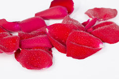 Red rose petals with waterdrops Royalty Free Stock Photo