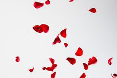 Red Rose Petals on White Background royalty free stock photos