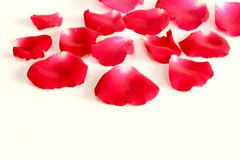 Red rose petals on white background with copy space. Stock Photography
