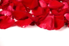Red rose petals on a white background Stock Images