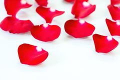 Red Rose Petals in White Background. Image of red rose petals with shadows scattered on white glass surface for abstract love background royalty free stock photos