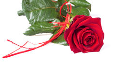 Red rose and petals on white background. Stock Photos