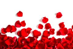 Red rose petals on white background, top view royalty free stock photos