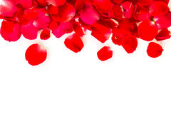 Red rose petals on white background. Royalty Free Stock Images