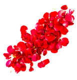Red rose petals on white background. Stock Photos