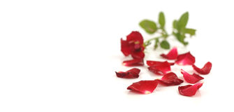 Red rose petals on white Stock Photos