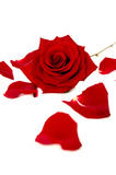 Red rose and petals on white Royalty Free Stock Photo