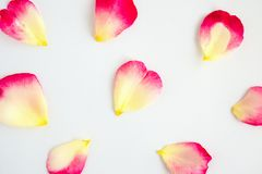 Red rose petals on white. Background royalty free stock image