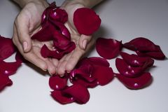 Red rose petals in women`s palms. White background, female hands, female palms scarlet rose petals, scattered rose petals stock images