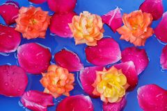 Red rose petals in water with yellow roses a beautiful background royalty free stock images