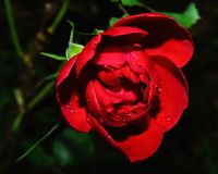Red Rose Photography Stock Image