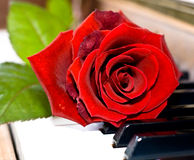 Red rose on piano keys. Red rose on the wooden piano Royalty Free Stock Photography