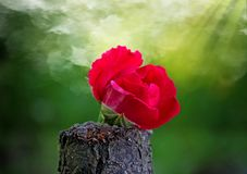Red rose on a piece of wood. Behind him the sun`s rays and smoke royalty free stock image