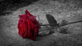 Red Rose Placed On Grave Black And White