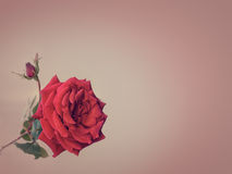 Red rose on a plain background. Red rose on a striped background in pastel colors Royalty Free Stock Images