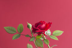 Red rose plant isolated on a red background Stock Photos