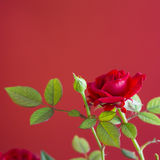 Red rose plant isolated on a red background Stock Images