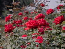 Red rose plants with flowers royalty free stock image