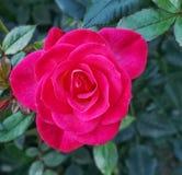 Red rose in portland,oregon