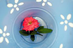 Red Rose in The Pot. Red Rose in The Blue Pot Royalty Free Stock Photos