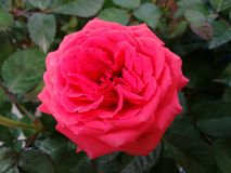 Red rose. The rose is a prickly bush or shrub that typically bears red, pink, yellow, or white fragrant flowers, native to north temperate regions Stock Images