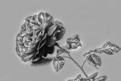 Red Rose in HDR black and white. stock photos