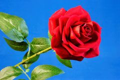 Red rose Queen of flowers on blue background. Red rose is a perfect symbol of love, passionate feelings, beauty and romance. It was used in coats of arms stock photography