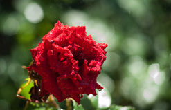Red rose in the rain Stock Image