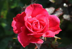 A red rose. After the rain Royalty Free Stock Photos