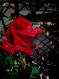Red rose. A red rose in the rain royalty free stock photography