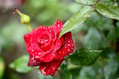 Red rose after rain. Beautiful red rose flower with rain drops Stock Images