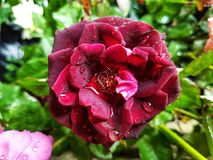 Red Rose After Rain Royalty Free Stock Photography