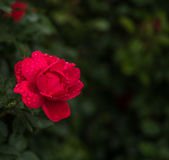 Red Rose in The Rain Royalty Free Stock Images