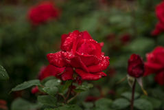 Red Rose in The Rain Stock Photos