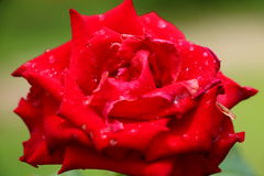 Red Rose. With rain drop after raining Royalty Free Stock Photos