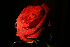 Red rose with rain drops Royalty Free Stock Photos