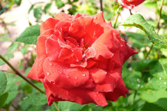 Red rose with rain drops Stock Photography