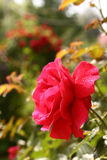 Red rose with rain drops close up photo Stock Photography