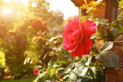 Red rose with rain drops close up photo. On the beautiful green garden background Stock Photo