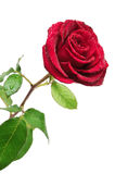 Red rose with rain drops Stock Image