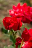 Red rose in the rain Stock Images